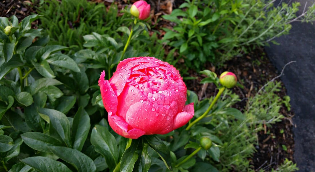 Outdoor bright pink flower covered in dew drops surrounded by green leafy plants