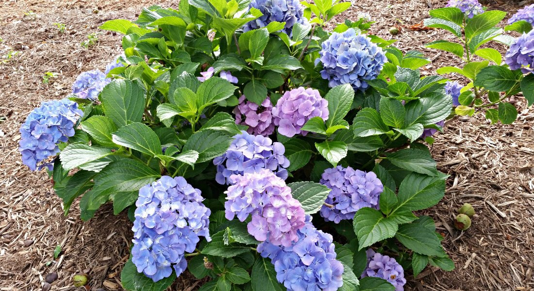 Outdoor bright pink and purple hydrangeas surrounded by green leaves in a bed of mulch
