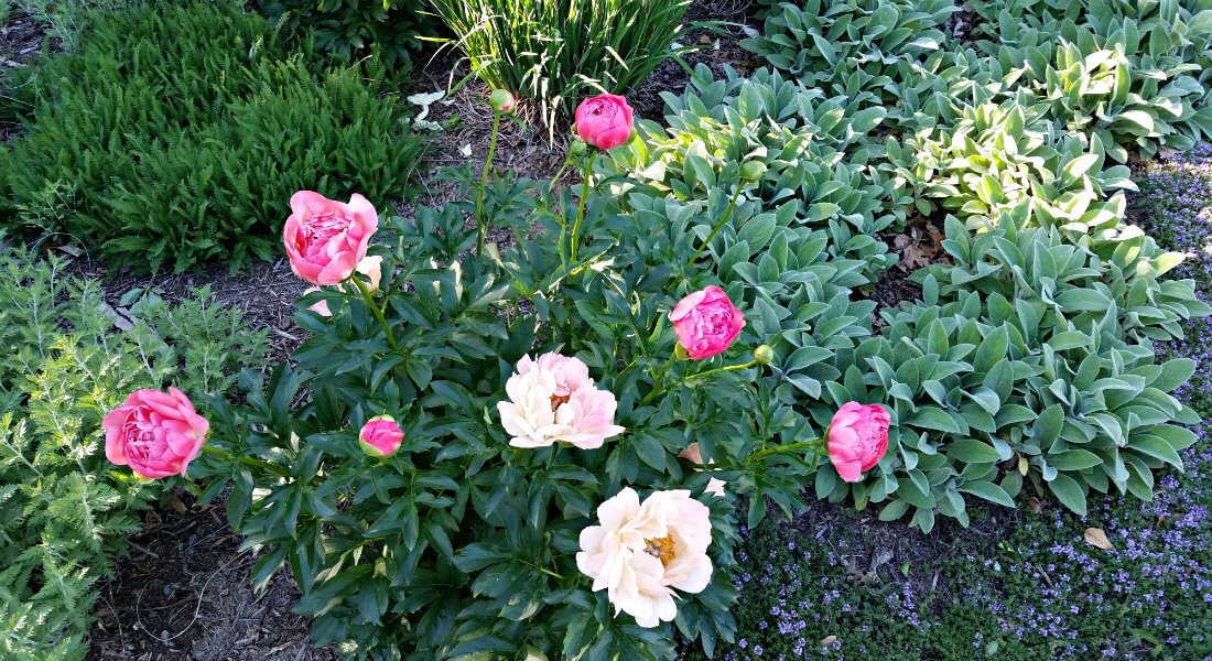 Several green leafy outdoor plants with hot pink and light pink flowers