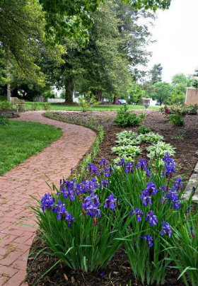 Outdoor landscaping featuring several green leafy plants with purple flowers next to a winding red brick path